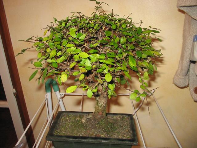delightful bonsai qui perd ses feuilles #4: voici deux photos de