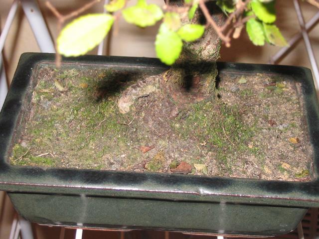 Mon orme de chine perd toutes ses feuilles le forum des bonsa - Mon olivier perd ses feuilles ...