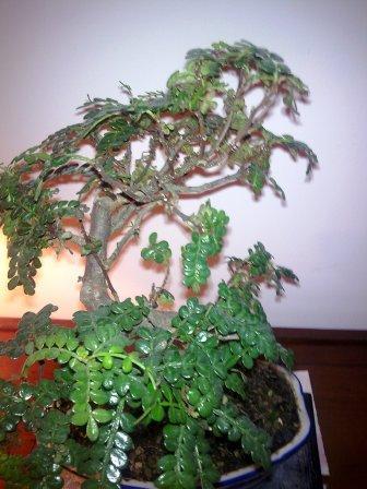 mon faux poivrier perd ses feuilles le forum des bonsa. Black Bedroom Furniture Sets. Home Design Ideas