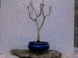 maladie sur saule pleureur le forum des bonsa. Black Bedroom Furniture Sets. Home Design Ideas