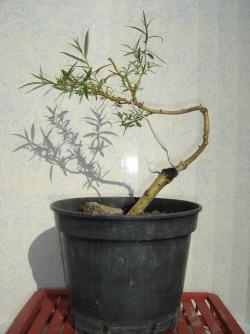maladie sur saule pleureur? - Le forum des bonsaï